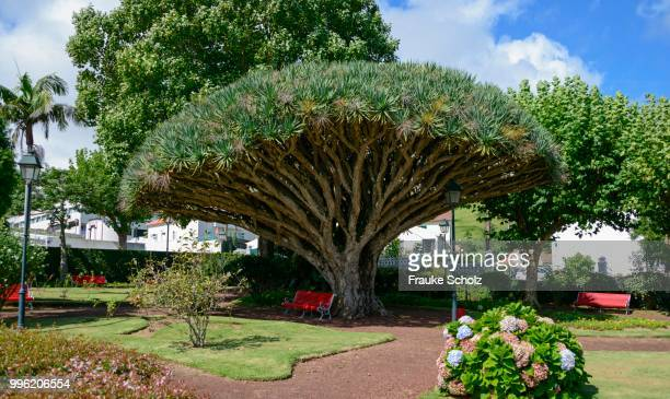 Canary Island Dragon Tree (Dracaena draco), Jardim de Florecio Terra, Horta, Faial, Azores, Portugal
