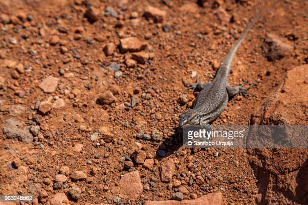 canary island lizard - el teide national park stock pictures, royalty-free photos & images
