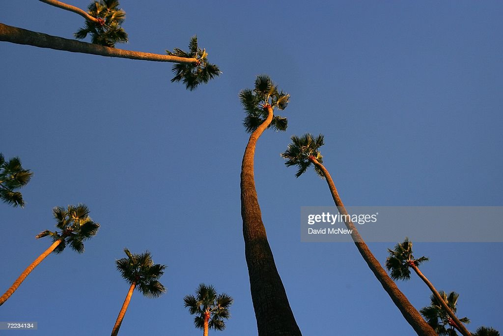 LAs Signature Palm Trees Are Disappearing : News Photo