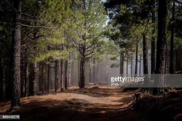 canary island pines in a forest at ruta de los volcanes, cumbre vieja, la palma, spain. - pine woodland stock pictures, royalty-free photos & images