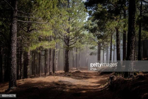 Canary Island Pines in a forest at Ruta de los Volcanes, Cumbre Vieja, La Palma, Spain.