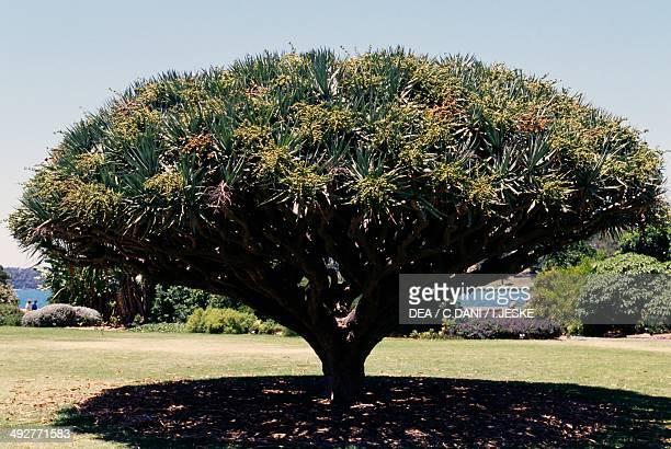 Canary Islands Dragon Tree Agavaceae
