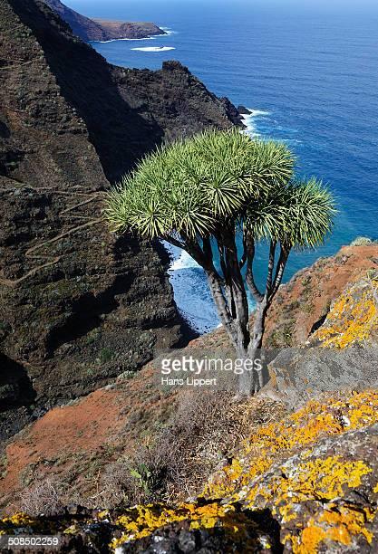 Canary Islands Dragon Tree -Dracaena draco-, coast near El Tablado, La Palma, Canary Islands, Spain, Europe, PublicGround