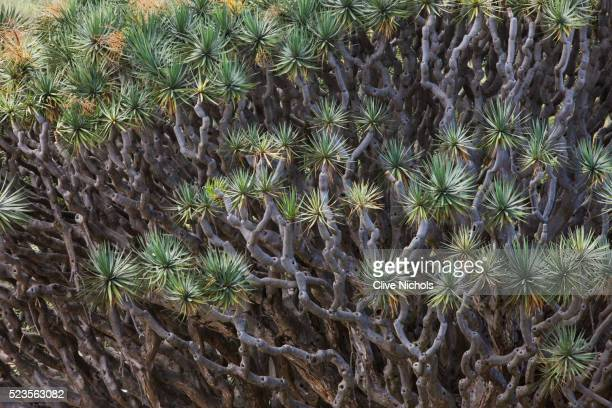 Canary Islands dragon tree or drago