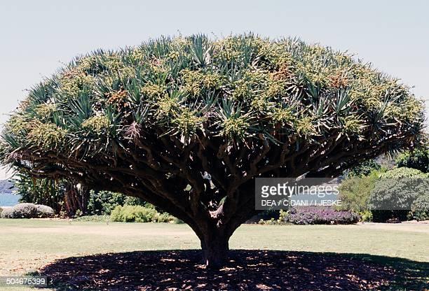 Canary Islands Dragon tree or Dragon Tree Asparagaceae