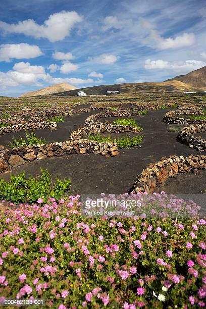 canary islands, lanzarote, la geria, blossoming vine cultivating field - lanzarote stock pictures, royalty-free photos & images