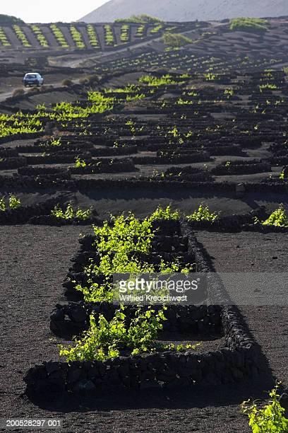 canary islands, lanzarote, la geria, vineyard - lanzarote stock pictures, royalty-free photos & images