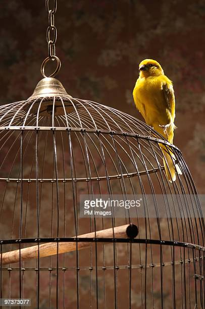 Canary perching atop birdcage
