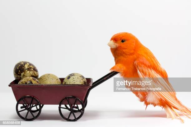 Canary pushes a cart with quail eggs to sell in the market.