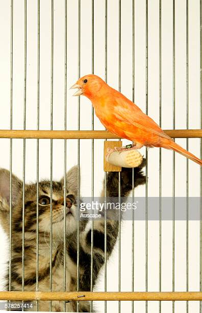 Canary Serinus canaria in its cage and a reaching kitten outside the cage