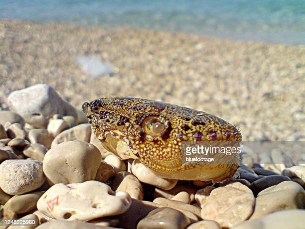 cancer shell at the beach - bluefootage stock pictures, royalty-free photos & images