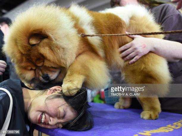 Candace Chien plays with a Chow Chow in the benching area on Day One of competition at the Westminster Kennel Club 142nd Annual Dog Show in New York...