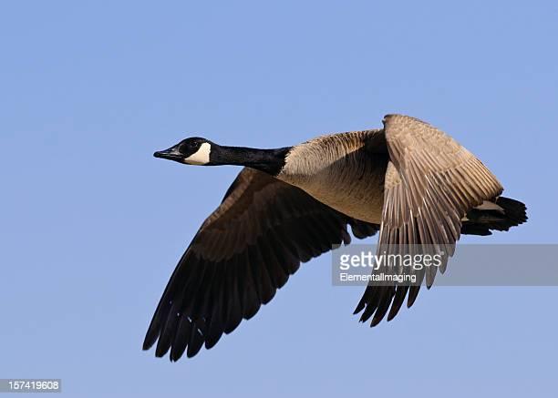 candadian goose (branta canadensis) im flug - kanadagans stock-fotos und bilder