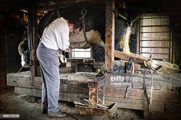 Candid, agricultural image of a blacksmith hard at work shoeing a large ox