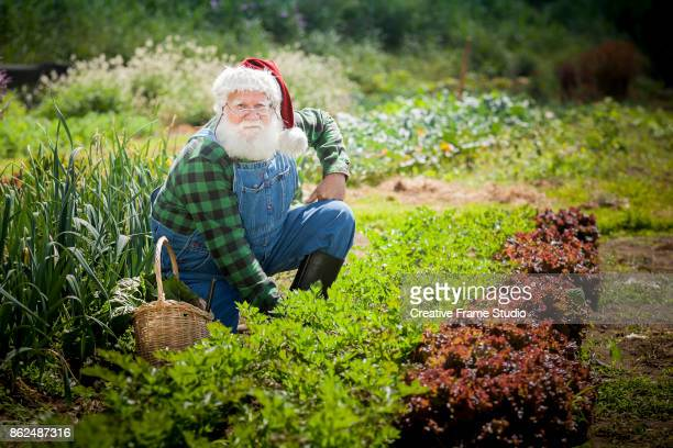 Candid Santa Claus gardening and harvesting with his wicker basket