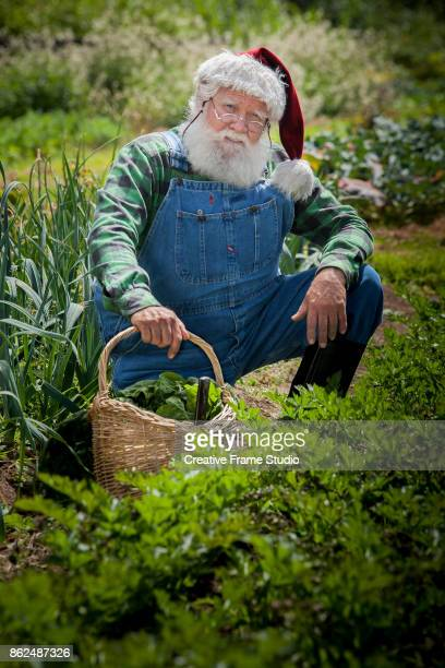Candid Santa gardening and harvesting on crouching position with his wicker basket