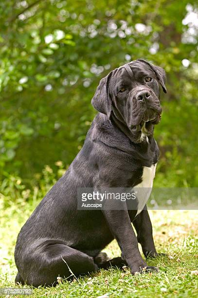 Cane corso dog Canis familiaris sitting on grass outdoors The ancestors of this breed were the mastino dogs of Tibet dating back 1000 years