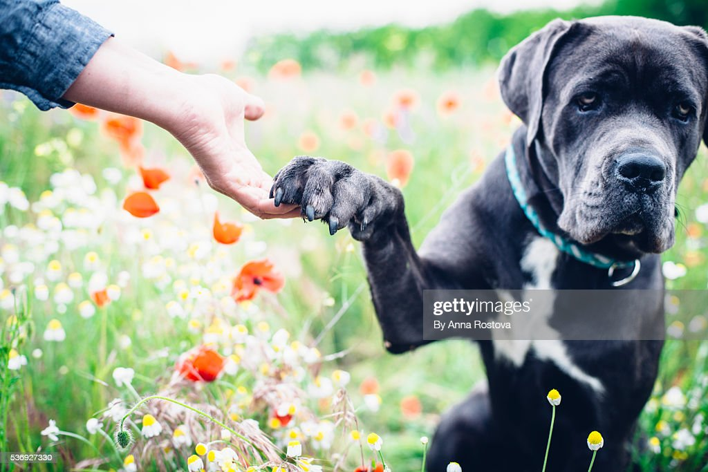 Cane Corso Dog Sitting In Summer Meadow