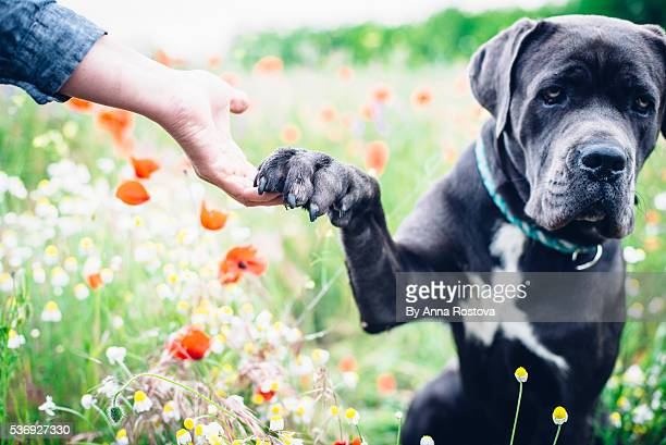 cane corso dog sitting in summer meadow giving paw to its human - paw stock pictures, royalty-free photos & images