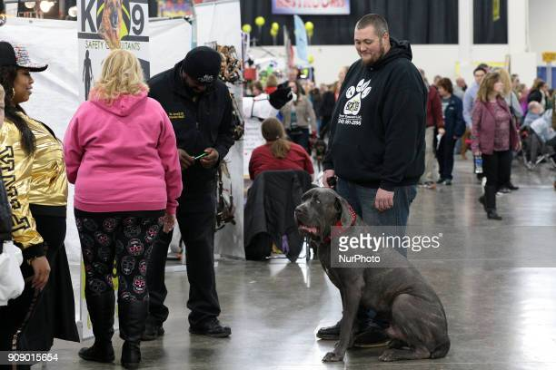 A Cane Corso is seen during the Michigan Winter Dog Classic show at Suburban Showcase Collection in Novi in Michigan USA on Sunday January 21 2018...