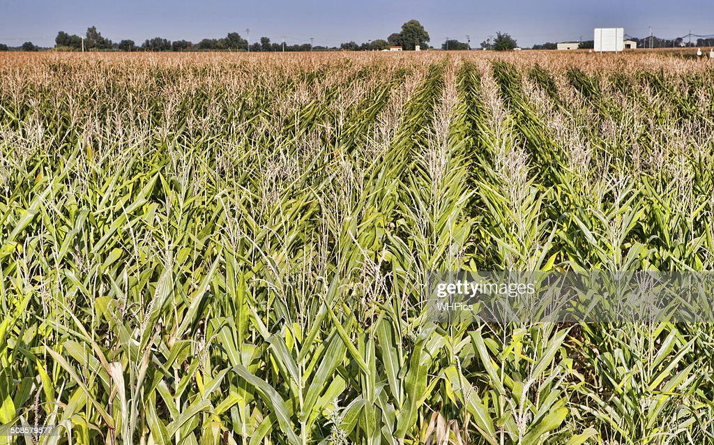 Cane thicket in the countryside : Stockfoto