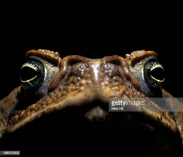 cane toad against black background - cane toad stock pictures, royalty-free photos & images