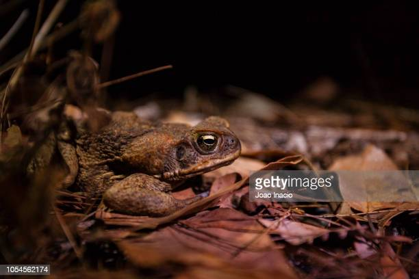 cane toad (rhinella marina) at girringun national park, far north queensland, australia - cane toad stock pictures, royalty-free photos & images