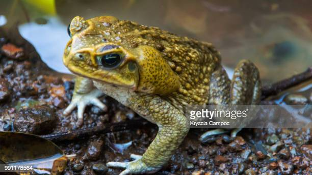 cane toad close up - cane toad stock pictures, royalty-free photos & images