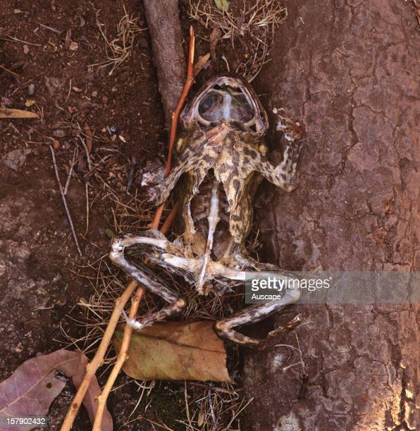 Cane toad corpse eaten by a Water rat one of the few native species that can kill them with impunity either by being immune to the poison or by...