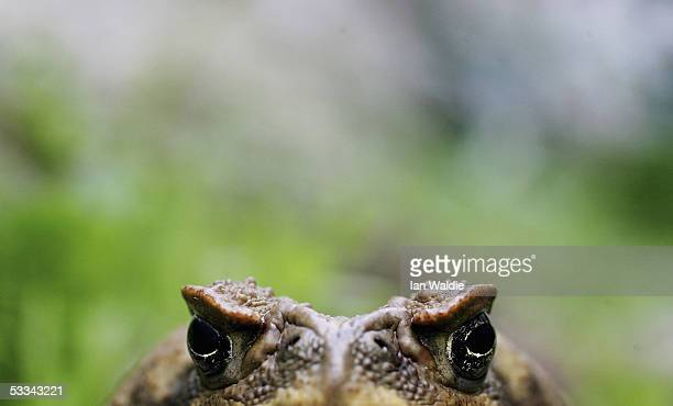 Cane Toad is exhibited at Taronga Zoo August 9 2005 in Sydney Australia The Cane Toad which is poisonous is reportedly being blamed for the deaths of...