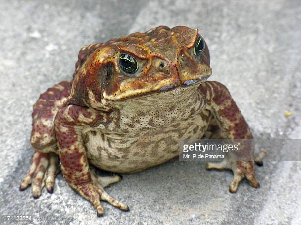 cane toad - cane toad stock pictures, royalty-free photos & images