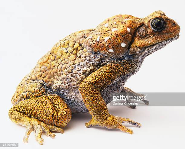 cane toad (bufo marinus) - cane toad stock pictures, royalty-free photos & images