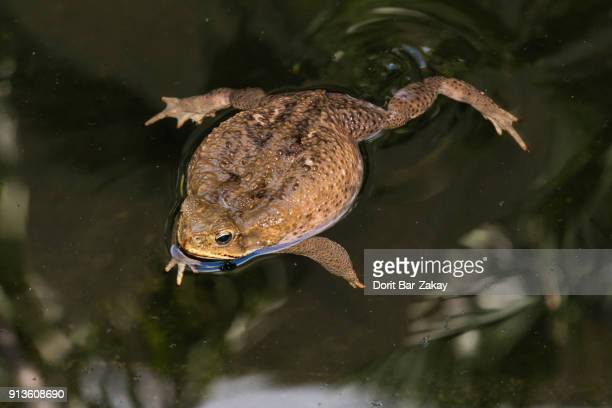 cane toad/bufo toad/marine toad/giant toad (rhinella marina) - cane toad stock pictures, royalty-free photos & images