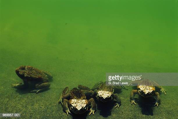 cane toads (bufo marinus) - cane toad stock pictures, royalty-free photos & images