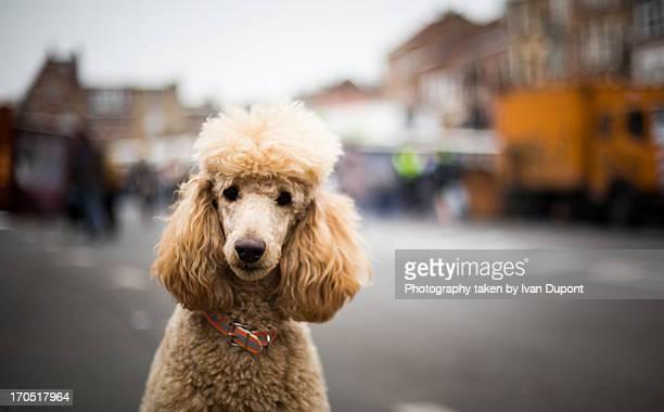 caniche royal - poodle - fotografias e filmes do acervo
