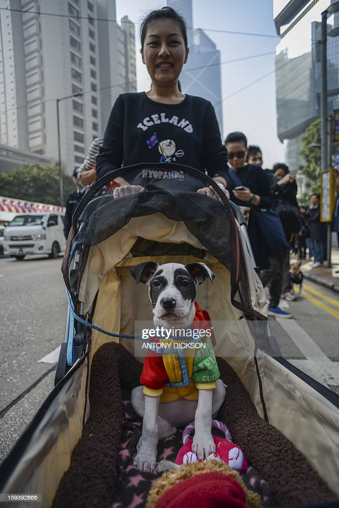 Canine 'Snoopy' is pushed in a pram during a pro-animal rights rally in Hong Kong on January 13, 2013. The rally, organised on social media site Facebook, attracted around 1000 supporters who rallied for the police to take stronger action against the abuse of animals and to protect the rights of animals. AFP PHOTO / Antony DICKSON