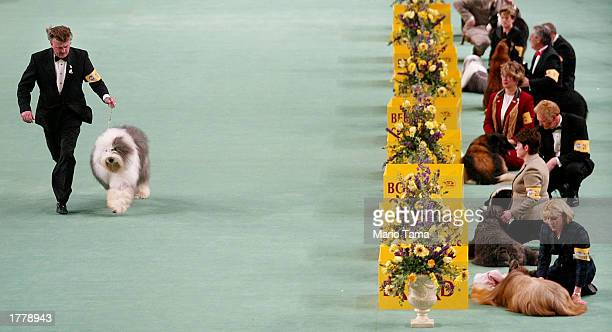 canines compete in the westminster kennel club dog show - dog show stock pictures, royalty-free photos & images