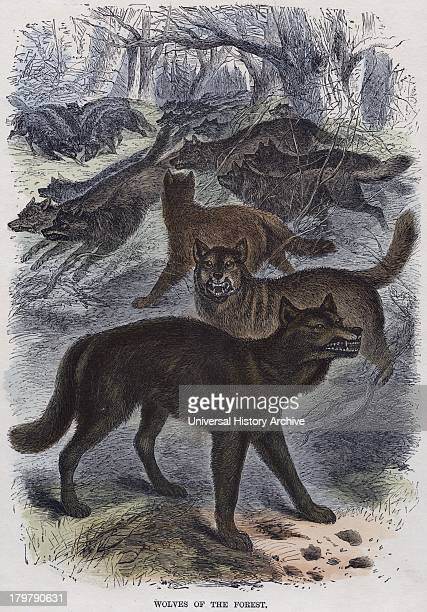 Canis lupus Gray or Timber Wolf Engraving c1860