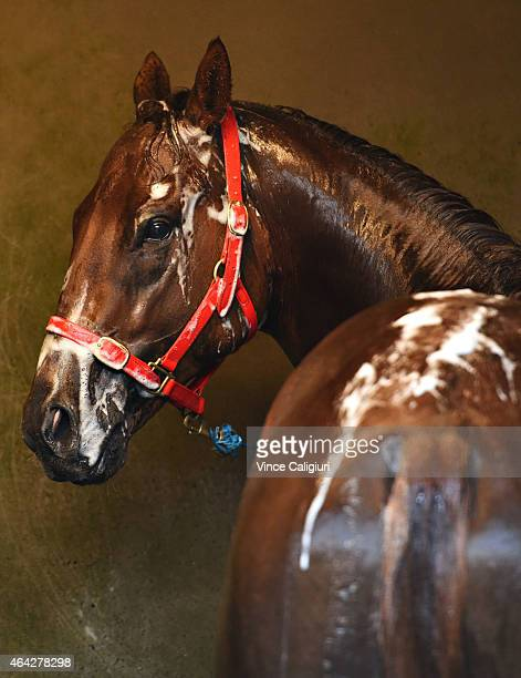Canis Major from the Clinton McDonald stable enjoys a wash after a trackwork session at Caulfield Racecourse on February 24 2015 in Melbourne...