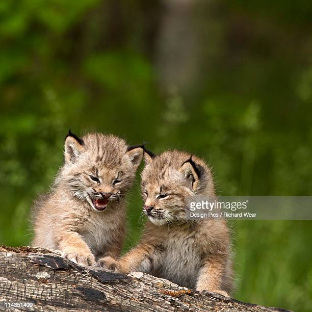 canmore, alberta, canada - canadian lynx stock pictures, royalty-free photos & images