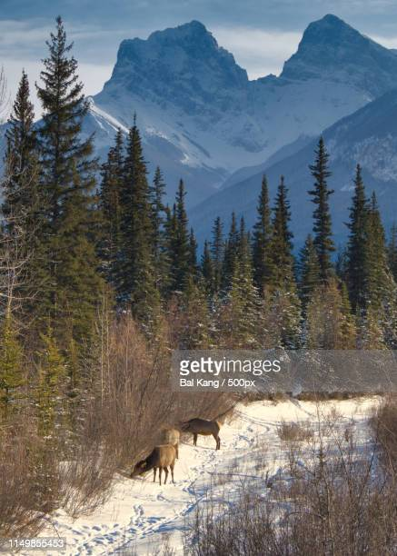 canmore elk - kananaskis country stock pictures, royalty-free photos & images