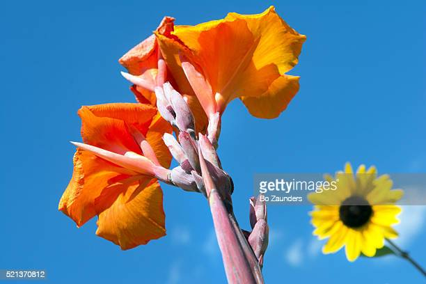 canna and black-eyed susan - canna lily stock pictures, royalty-free photos & images