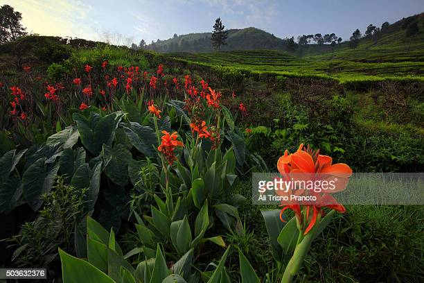 Canna flowers in Tea Plantation of Puncak Pass