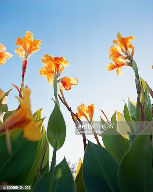 Canna flowers, low angle view
