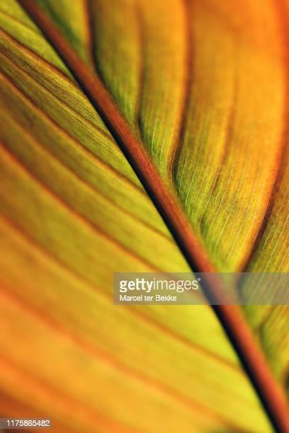 canna indica leaf - bladnerf stockfoto's en -beelden