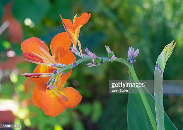 canna liily - canna lily stock pictures, royalty-free photos & images