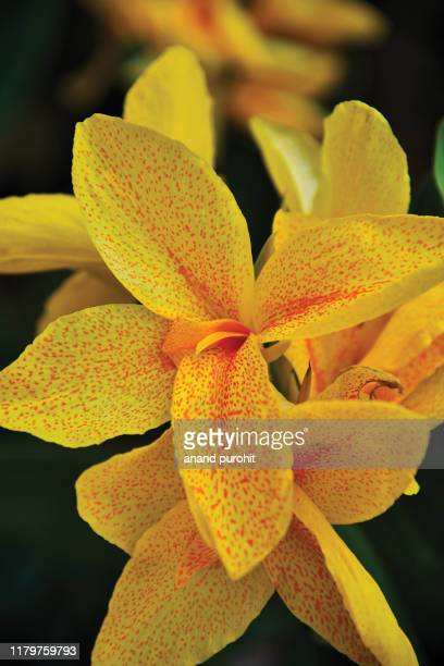 canna lilies yellow flowers - canna lily stock pictures, royalty-free photos & images