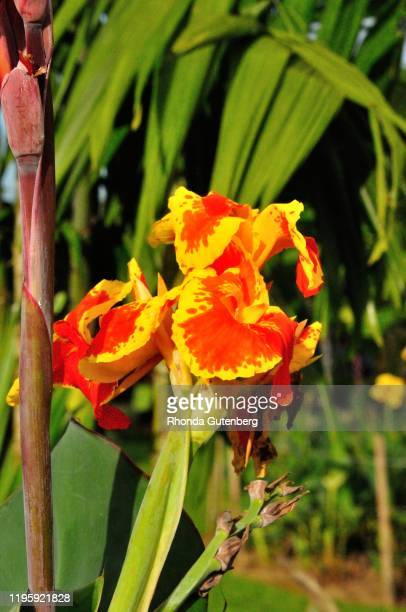 canna lily in parque central, la fortuna, costa rica - canna lily stock pictures, royalty-free photos & images
