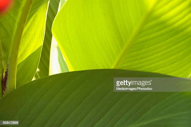 canna lily leaves, extreme close-up - canna lily stock pictures, royalty-free photos & images