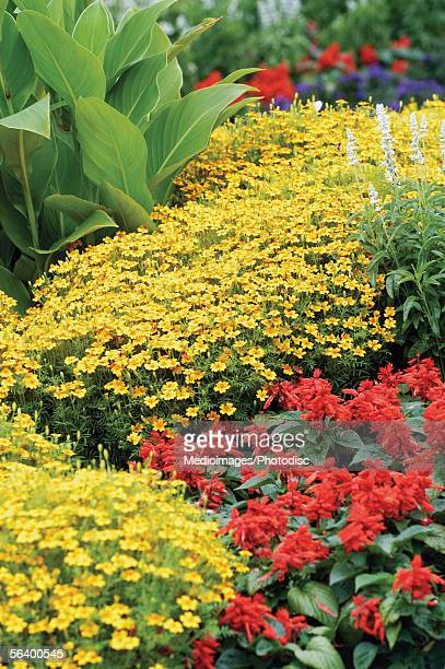 Canna Lily, Yellow Marigolds, and red and white Salvia